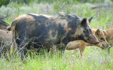 Feral pig control